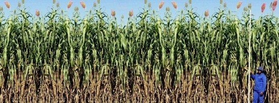 Sweet Sorghum for µ-BioRefinery™